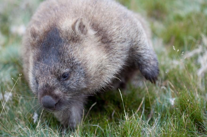 wombat-8683